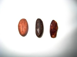 (1) roasted cacao bean; (2) huskless: the cacao nib; (3) cross-section of a nib