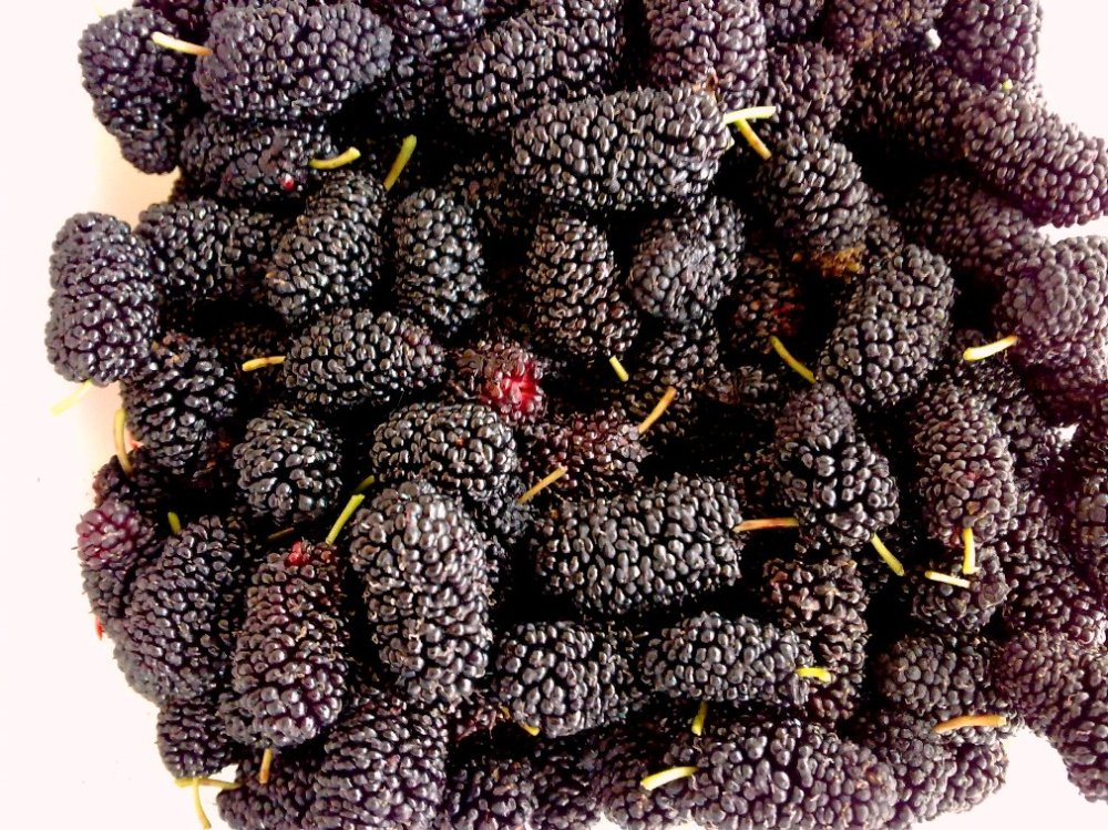 yummy mulberries