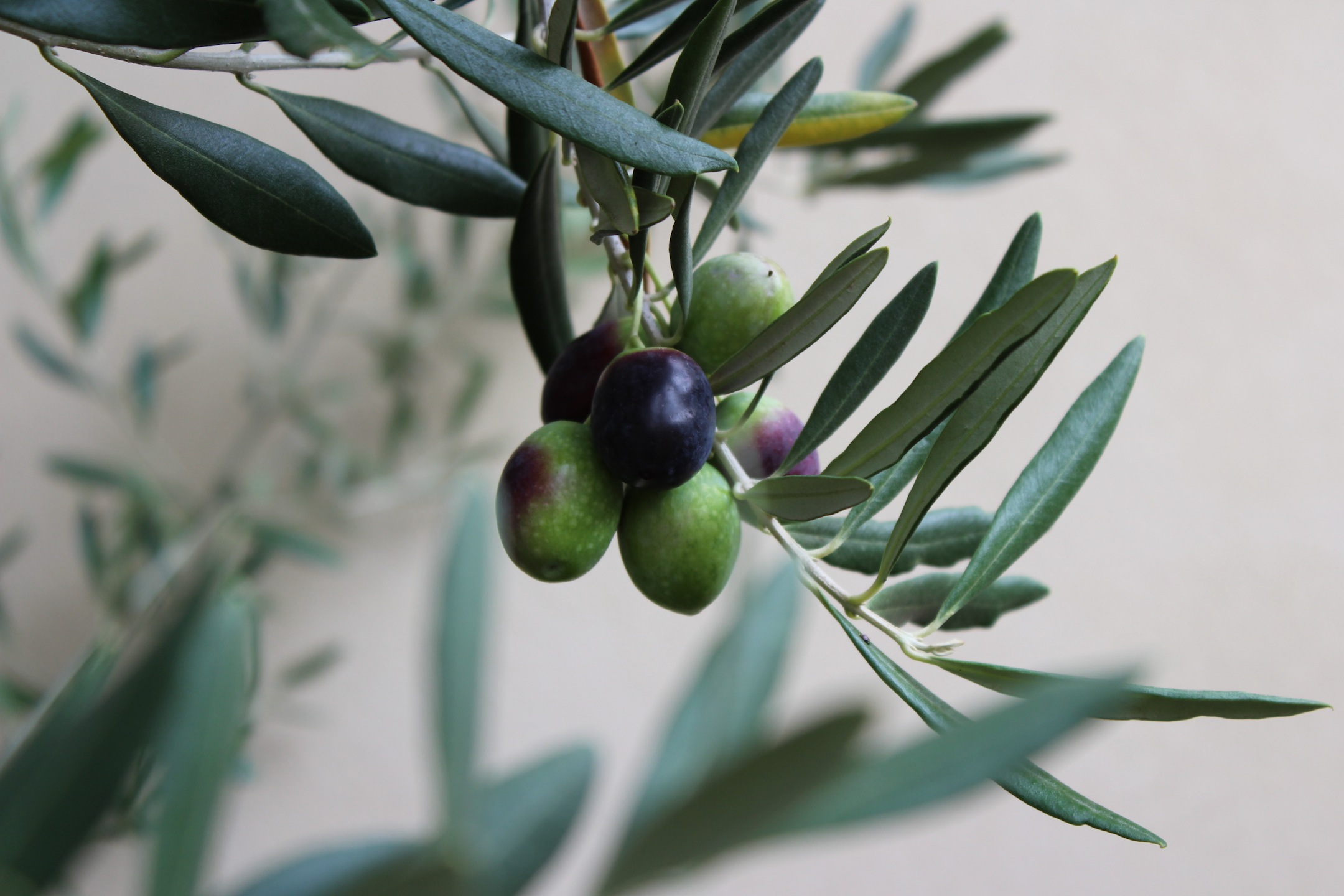 Guest post 6 how to create award winning olives a very for Olive plant care