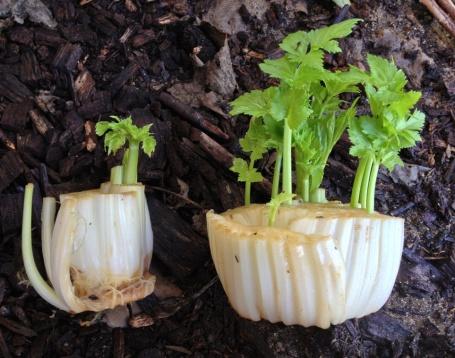 20130424 celery